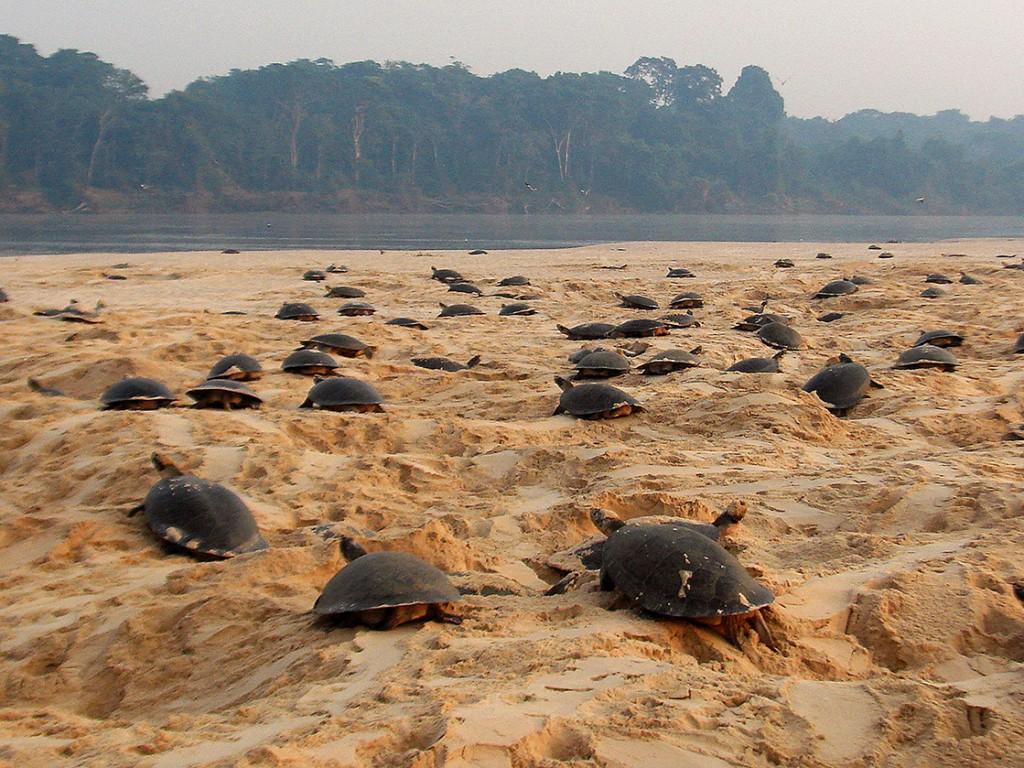 Desova de quelônios, como as tartarugas, ocorre em diversos pontos da bacia do Rio Madeira. Nesta imagem, elas estão no Rio Guaporé. Foto: Rosinaldo Machado/Secom-RO